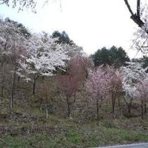 愛宕公園の桜
