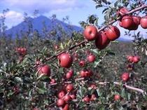 弘前のりんご畑♪おいしいよ~♪