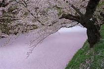 弘前の散り桜~♪