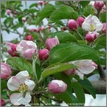 弘前一面に広がるりんごの華♪