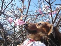 河津桜とチュラ