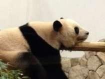 かわいいパンダちゃん