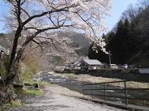 神流川沿いの桜
