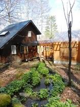 4月下旬、ゲストハウスと野趣風呂、活き活きとしたワサビ。