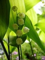6月の花 スズラン