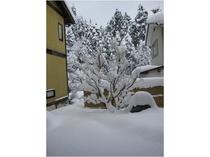 庭の沙羅双樹。雪のときには道路情報をお問い合わせください