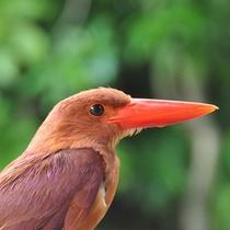 *アカショウビン/亜熱帯ならではの色鮮やかな鳥