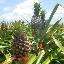 *南国の象徴、パイナップルもこんなに大きく成長!