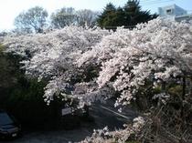 桜のトンネル通り