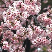 上野公園桜02