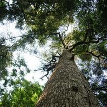 樅峰苑のシンボル樅の木