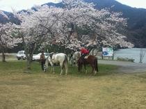 湖畔の桜の下で休憩