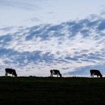*周辺景色/豊富の乳牛は、人間に管理されすぎずゆったりと放牧されています。