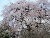 御殿場仏舎利塔の桜