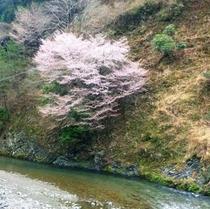 ホテル裏の桜