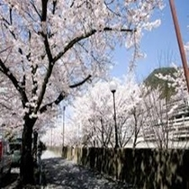 下呂市内の桜