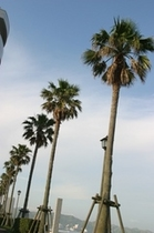 前原海岸のやしの木
