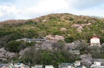 桜色に染まる名草山