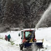 *雪堀キャベツの収穫風景。雪がふるなか、地元のおじちゃん、おばちゃんたちの手によって収穫されます。