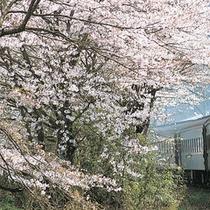■ 大井川鉄道(SL)  一日一往復、昔の宿場町金谷から終着駅千頭間を1時間10分で結びます。