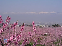 【桃源郷】日本一の桃の里、笛吹市。満開の桃の花をお楽しみください