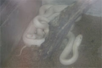 蛇石神社の白蛇