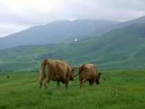 阿蘇の赤牛2