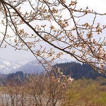 胎内川の桜