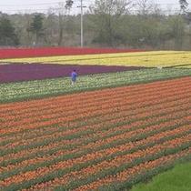 *【春】チューリップ畑を独り占め