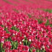 *【春】長池公園で4月末からGWにかけて行われるチューリップフェスティバル