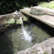 *鯉の生け簀/新鮮で美味しい森の湧き水で育てた鯉は、鯉特融の臭みがなく、驚かれます。