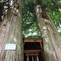 *施設周辺「夫婦杉」/当館目の前にある樹齢400年の見事な夫婦杉。見られるのは日本でここだけ!