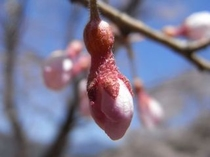 ひょうたん桜の言われは これ この形にある ツボミ