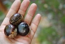 自然豊かな森の恵み トチの実です トチの実って食べられるんですよ
