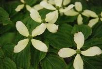美しき鳥形山の植物たち ヤマボウシ