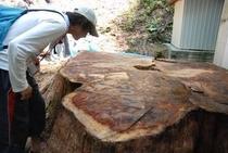 仁淀川町の北川地区の切り株 直径は3m 樹齢も500年ぐらいとか