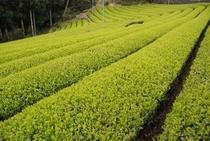 かなり厳しい急傾斜のお茶畑なのです