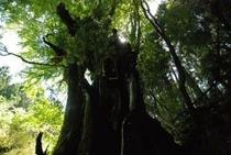 縄文桂 じょうもんかつら と呼ばれている巨木