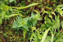 中津明神山 珍しい高山植物の数々③リンドウ 花はこれから