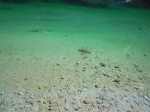 これは 仁淀川町の池川エリア 土居川の水面 透明度に驚嘆します