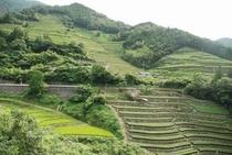 ここは 中村地区 山のテッペン付近まで 段々畑があります