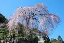 仁淀川町の別枝地区の市川家のしだれ桜