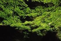 夏の中津渓谷 木々は美しい