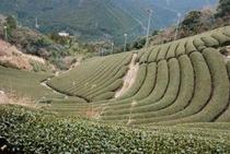 チャバタケ 仁淀川町の急傾斜地のお茶畑はその地形によっていろんなカタチになる2