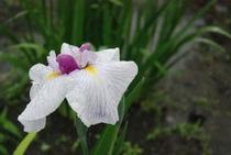 花しょうぶまつり ③ 雨のしずくがより しょうぶのよさを一層ひきたてているように見えます