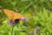 中津明神山 この蝶がたくさんいたんだよ 名前はなんて言うのかな