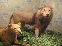 ライオンの剥製