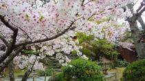 濱口家の桜