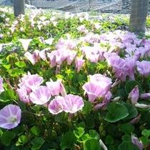 *【海辺に咲く夕顔】かわいらしい花が咲き乱れます。