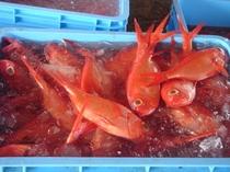 稲取漁港・捕れたて、稲取ブランドの金目鯛